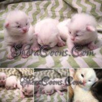 3 Little Maids Maine Coon Kittens Sept 2019