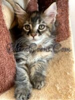7 wk old Maine Coon Female