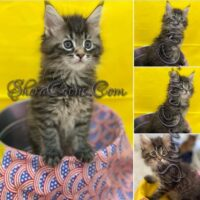 Black Silver Tabby Male always ready for trouble