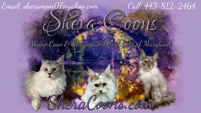 Shera Coons Maine Coons & Norwegian Forest Kittens of Maryland link back banner