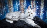 Ultron Maine Coon Male March 2020
