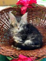 Black Silver Tabby Male #2 maine coon kitten