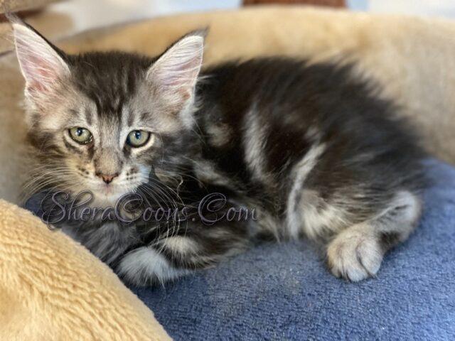 Black Silver Tabby male Maine coon kitten