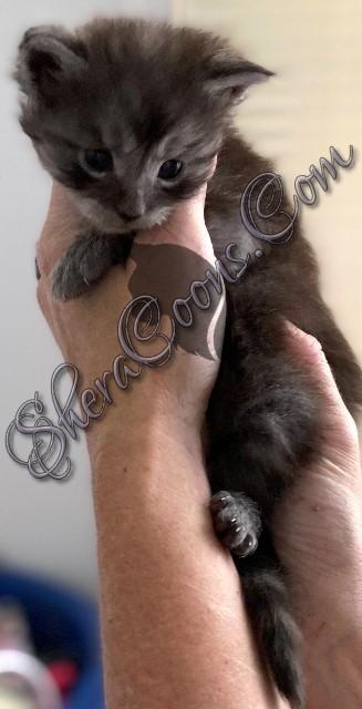 Black Smoke male maine coon kitten
