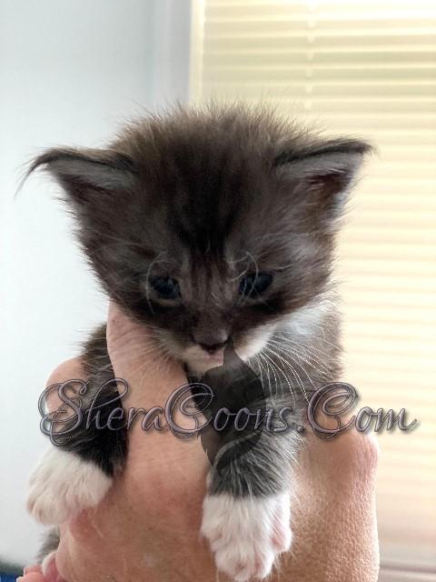 Black Smoke tuxedo-Female Maine Coon Kitten