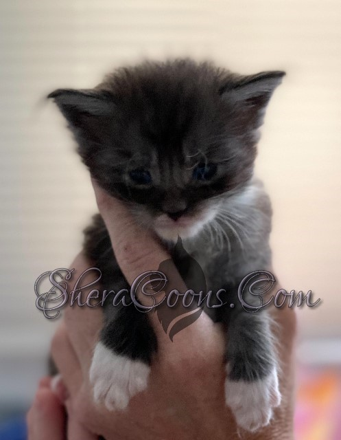 Black Smoke tuxedo-male Maine Coon kitten