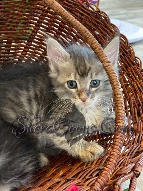 Blue Silver Tabby Female 1 maine coon kitten