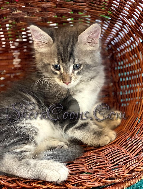 Blue Silver Tabby Female 2 maine coon kitten