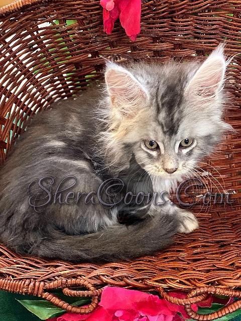 Blue Silver Tabby Female #3 maine coon kitten