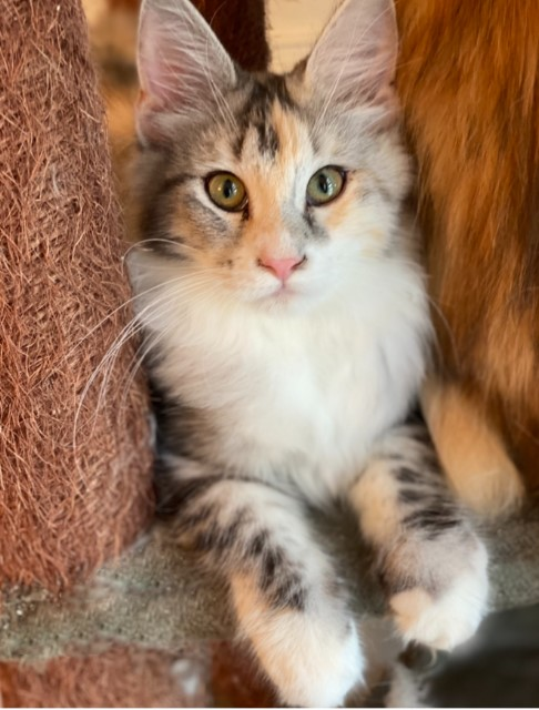 Future Maine Coon Queen Ivy