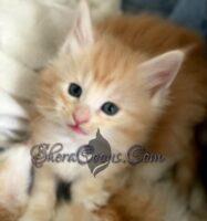 Male Norwegian Forest Kitten #4