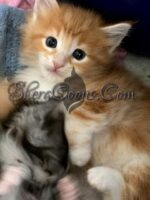 Male Norwegian Forest Kitten #5