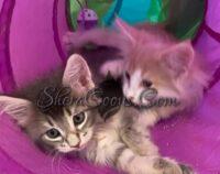 Past Maine Coon Kitten