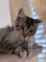 Available Maine Coon Kitten, silver and white