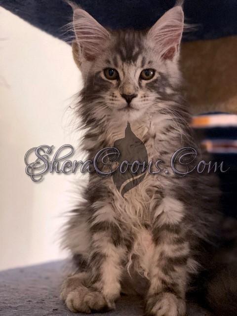 Blue Silver Female Maine Coon Kitten