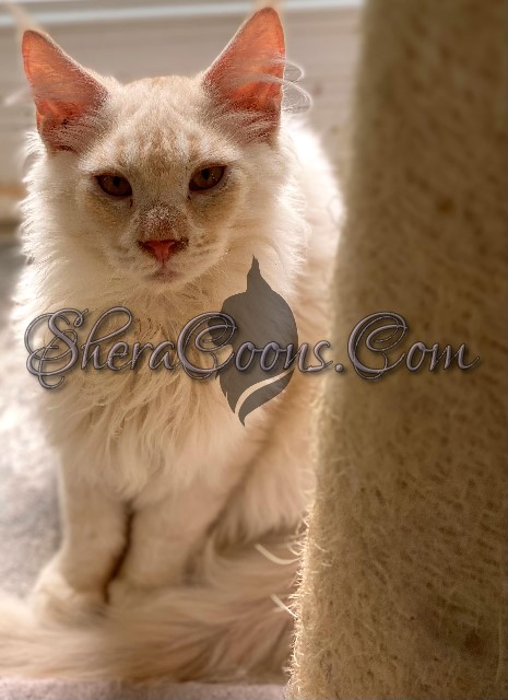 Red Silver male maine coon kitten
