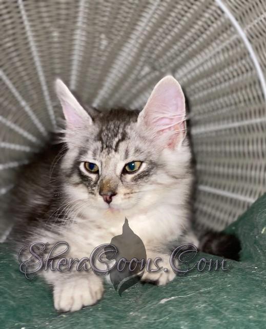 Silver Female Maine Coon Kitten
