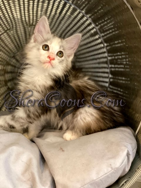 Silver Tortie Female Maine Coon Kitten