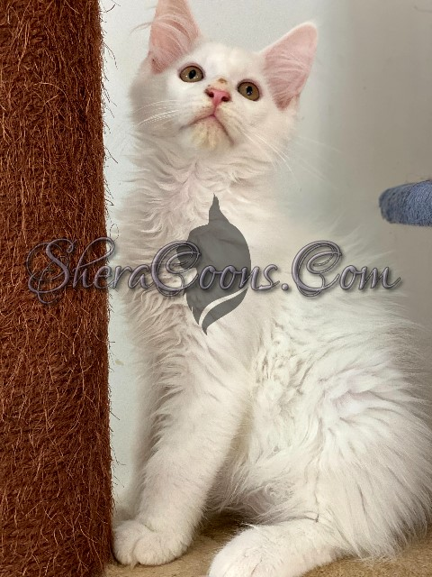 White Male Maine Coon Kitten